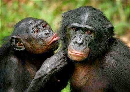 Bonobo Monkey Research Capuchin Monkey And Bonobo
