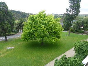 Image Description: Another picture of the green well-manicured lawns of the Rupertswood Mansion, but this time with a focus on a tree I thought looked pretty