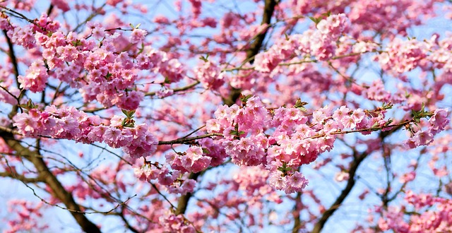 Image Description: a picture of cherry-blossom tree. It's a close-up picture of the branches so that you can see numerous tiny bright-pink flowers blossoming all along the branches.